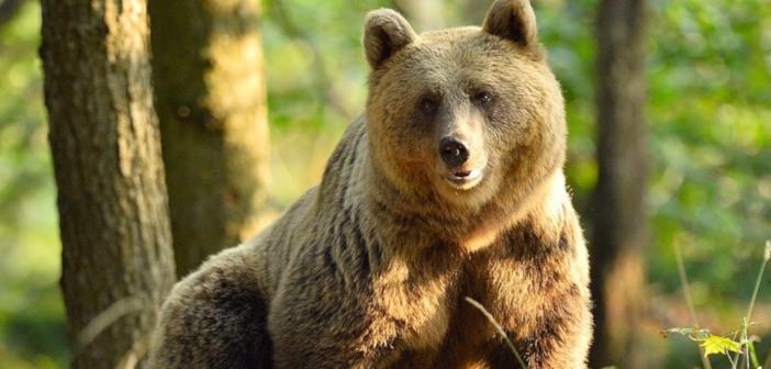 Proti odstrelu več kot 200 medvedov in volkov